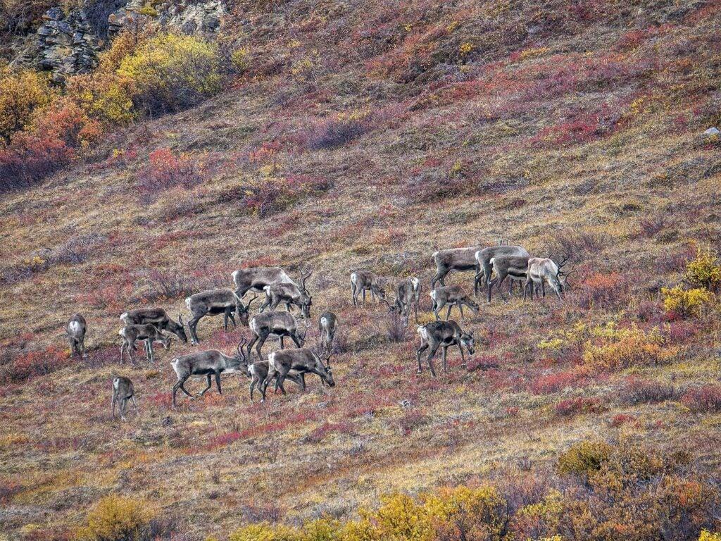 a herd of cows and calves feeding on an Alaskan hillside