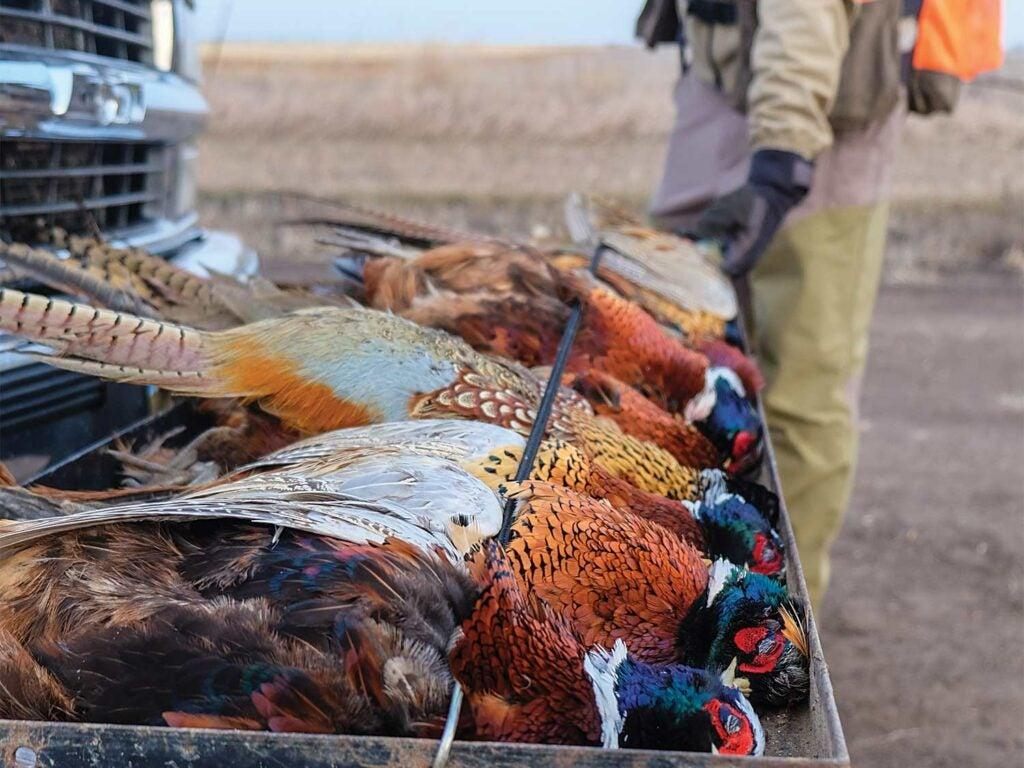 a limit of pheasants