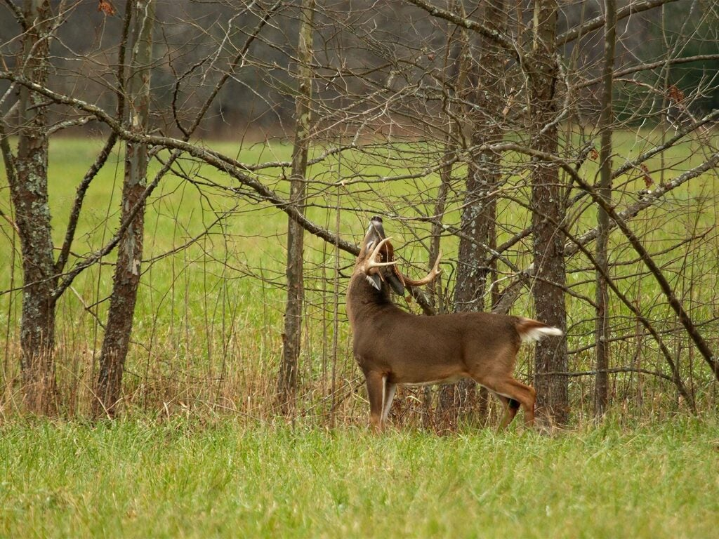 a buck rubbing on tree branches