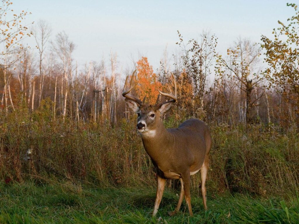 a buck standing in a field at midday