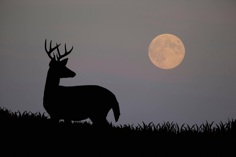 White-tailed Deer ;Odocoileus virginianus; Moon