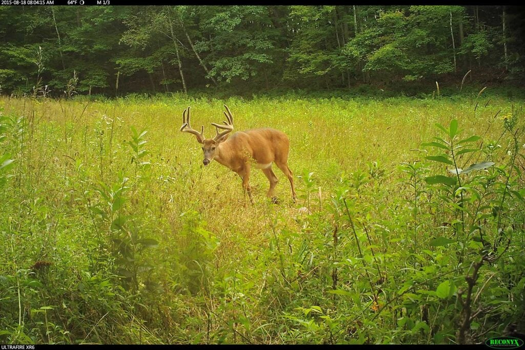 trail camera footage of a deer with full velvet antlers