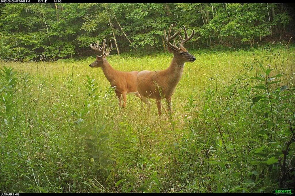 two bucks standing in a field of grass