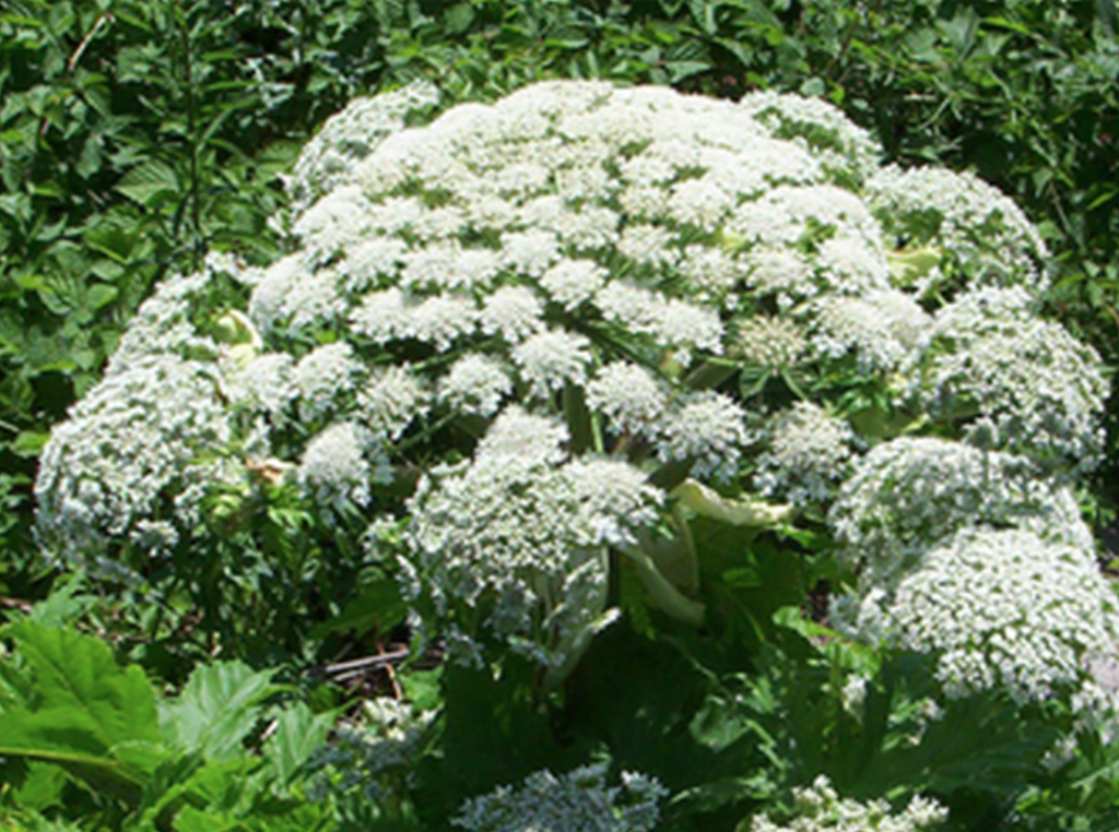 Giant hogweed is toxic on the skin.