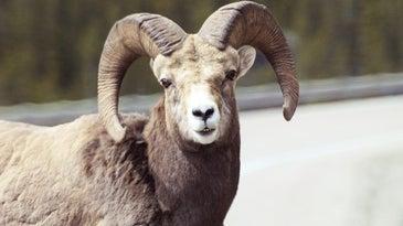 Canada Bighorn Sheep Animal Wild Nature Head