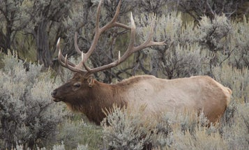 Best Arrows and Broadheads For Elk