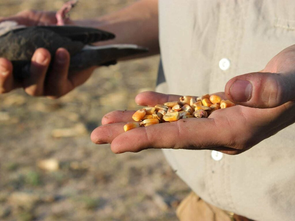 holding up corn and a dove