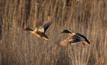 Mallard Limit Cut to 2 in the Atlantic Flyway. Will Duck Hunters Stay Home?