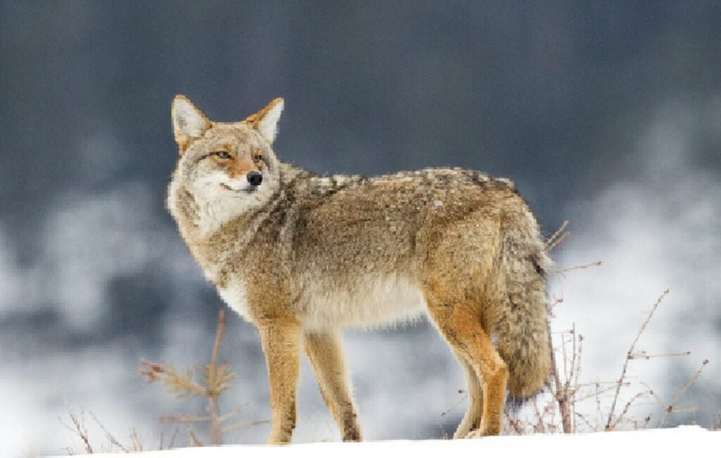A coyote crests a hill on a snowy day.