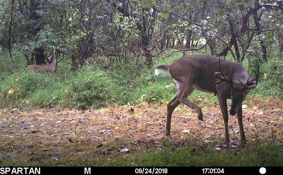 daytime buck caught on a trail cam