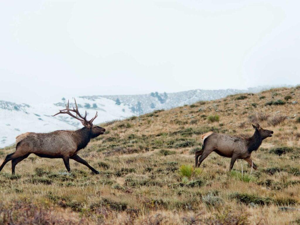 elk running on a hillside