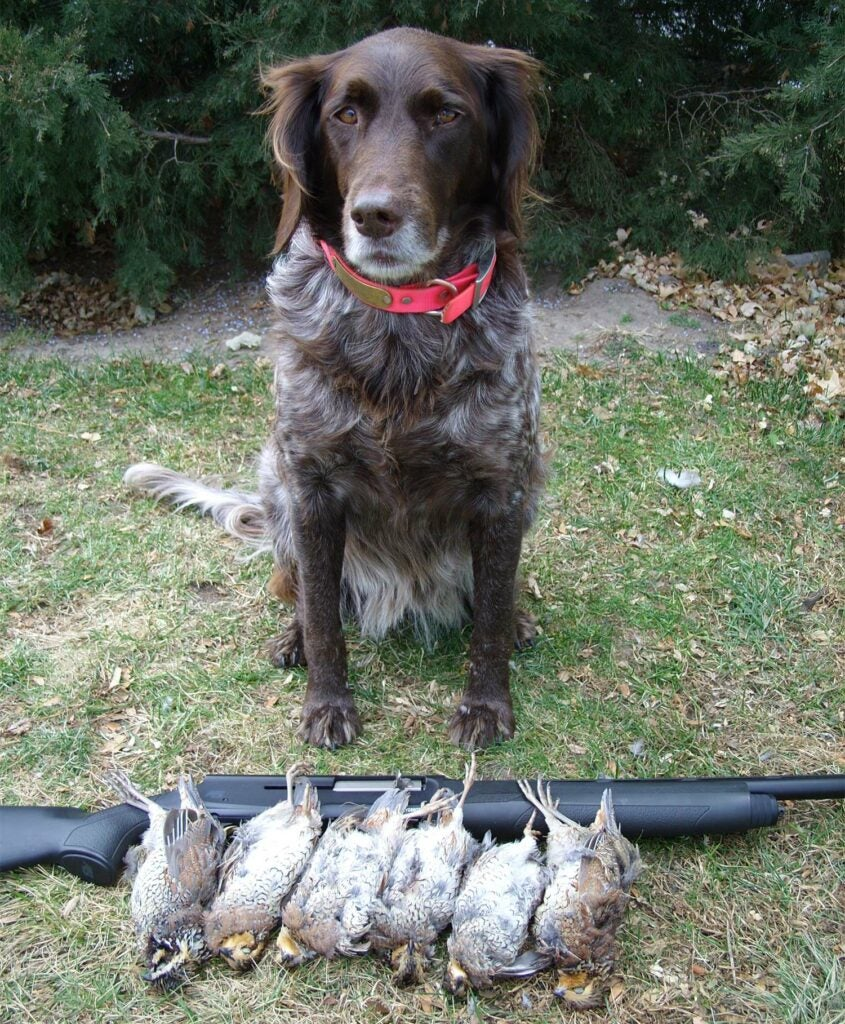 a hunting dog with quail and guns