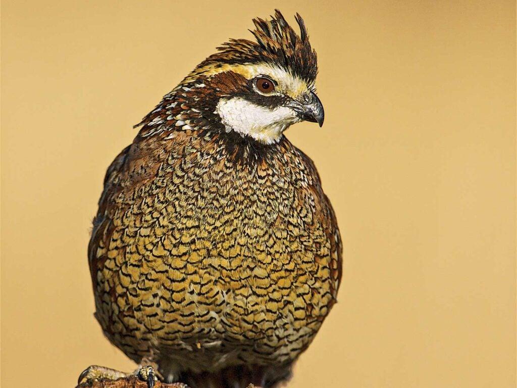 a quail sentry bobwhite