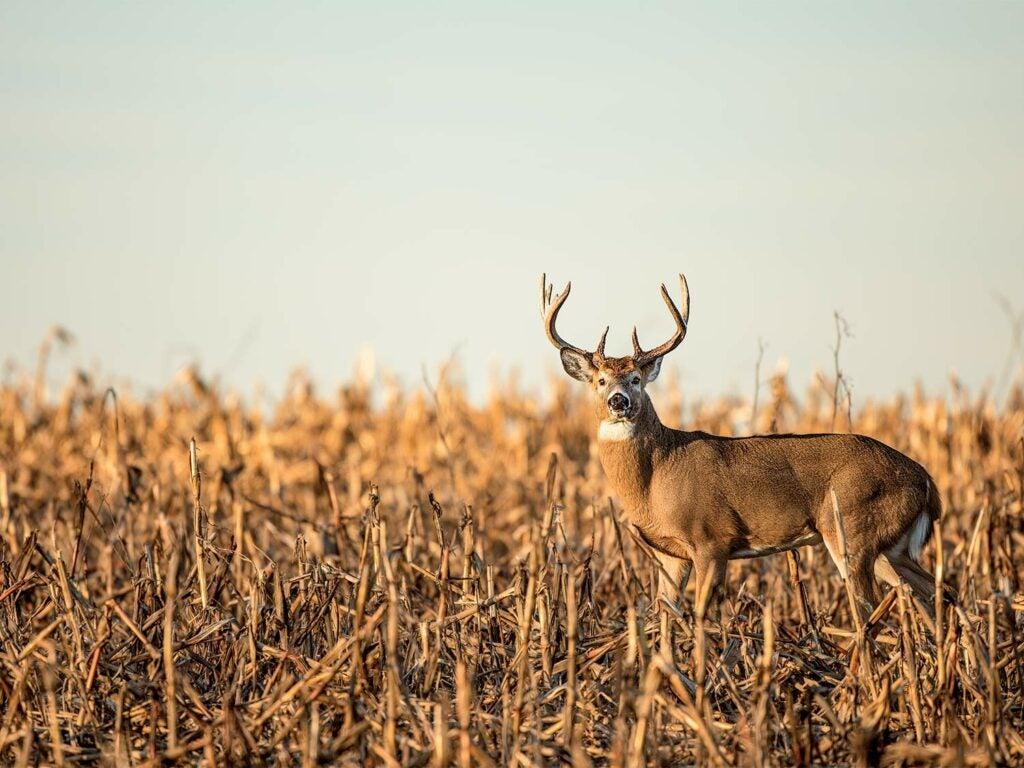 stud Michigan buck standing in a corn field
