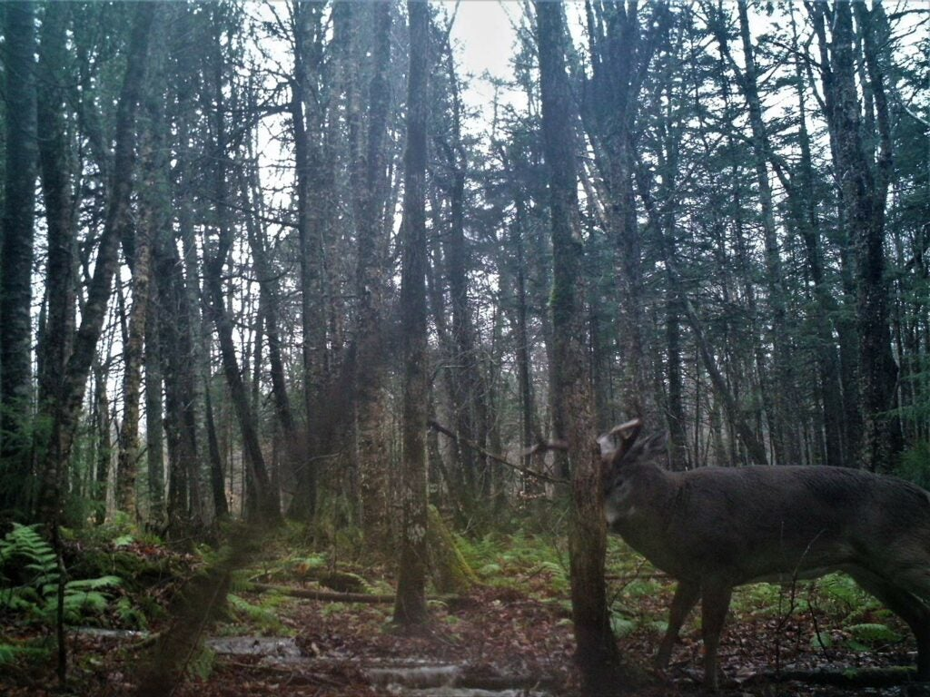trail cam photo of a deer rubbing against a tree