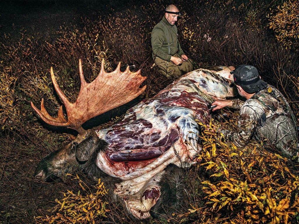 two hunters field dressing a giant bull elk