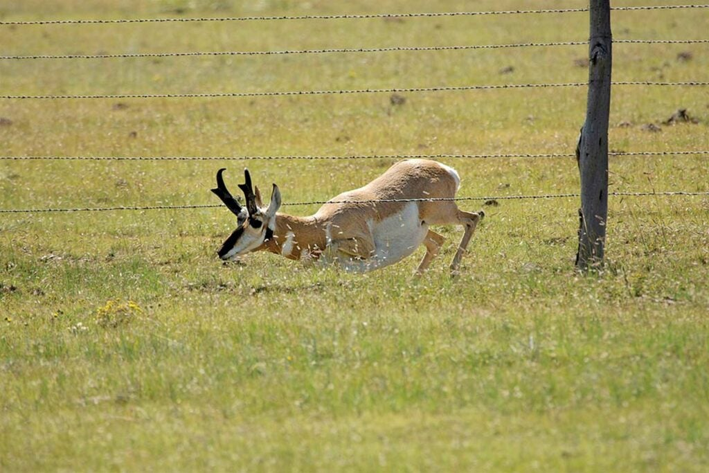 A pronghorn buck slips under a fence.