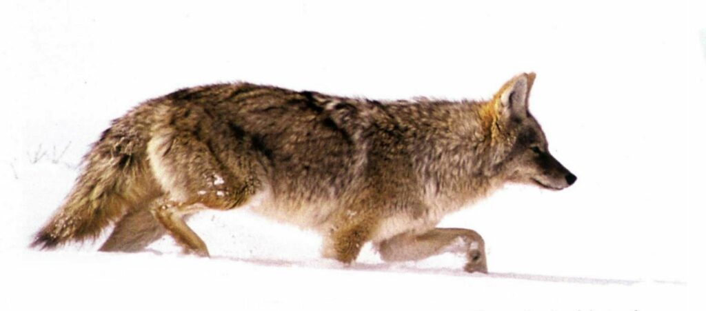 A winter coyote sneaking in to a hunter's call.