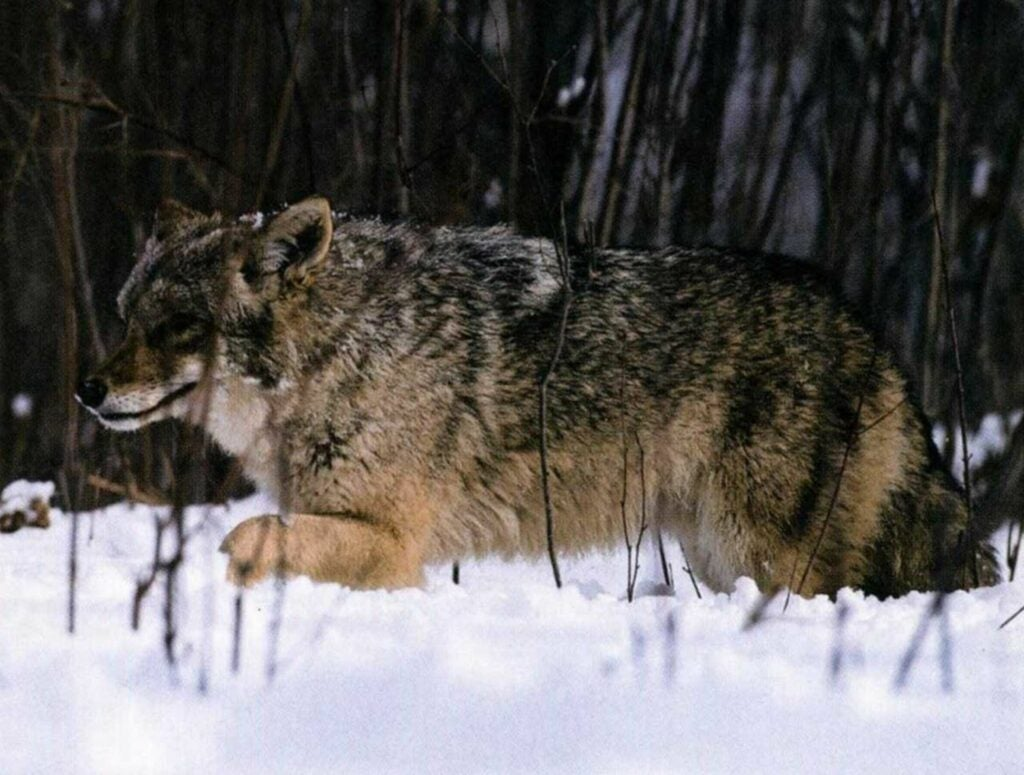 In late winter you can excite a male coyote by