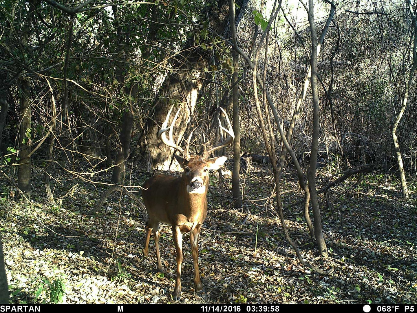 buck standing in a wooded clearing