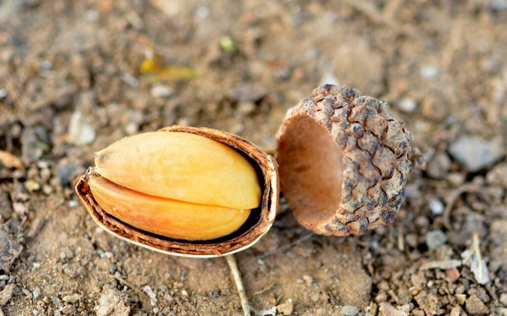 A cracked acorn, in its shell