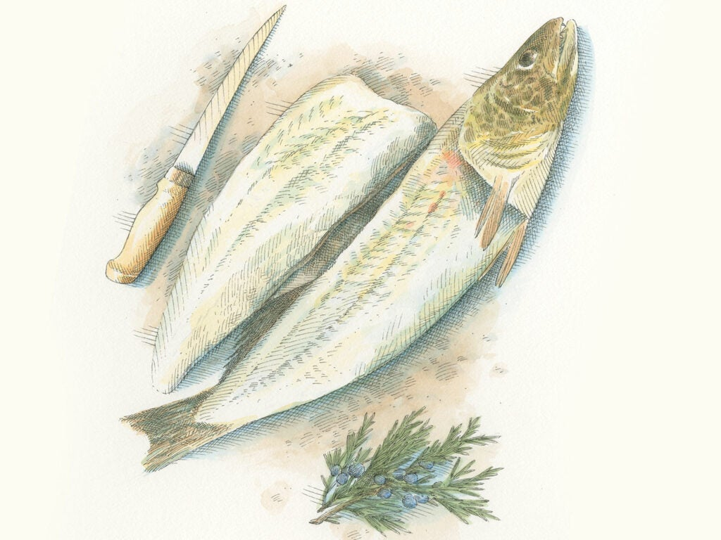 walleye fillet and knife illustration