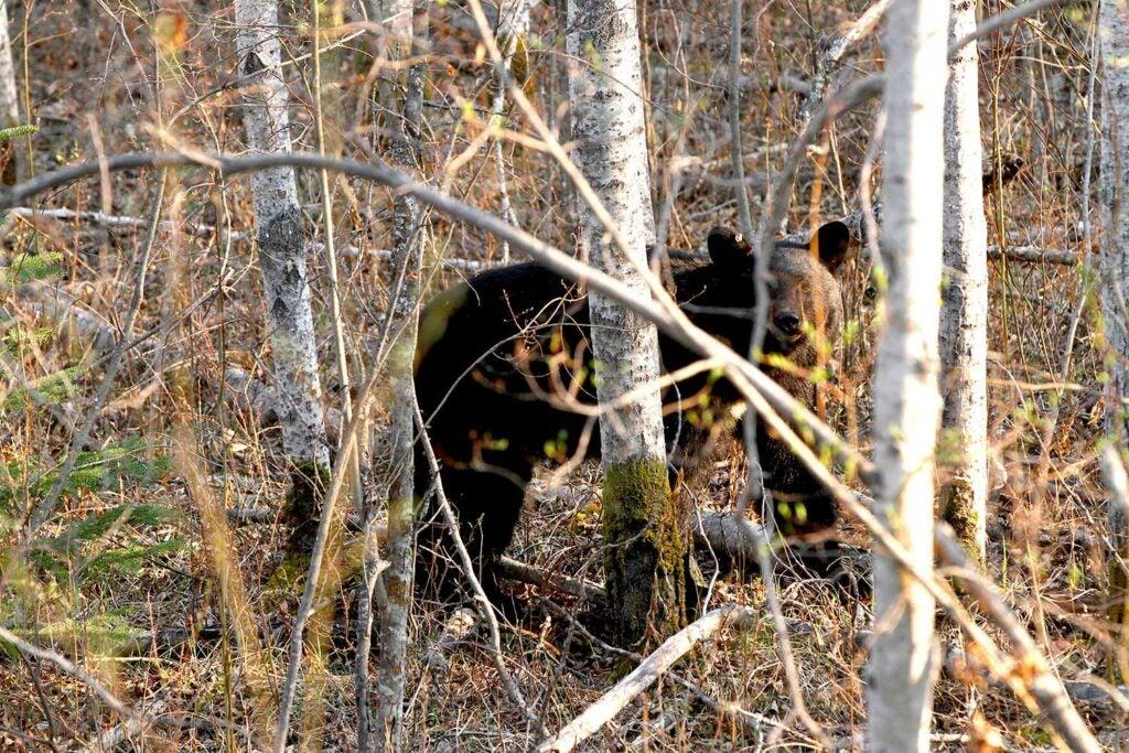 black bear walks into the woods