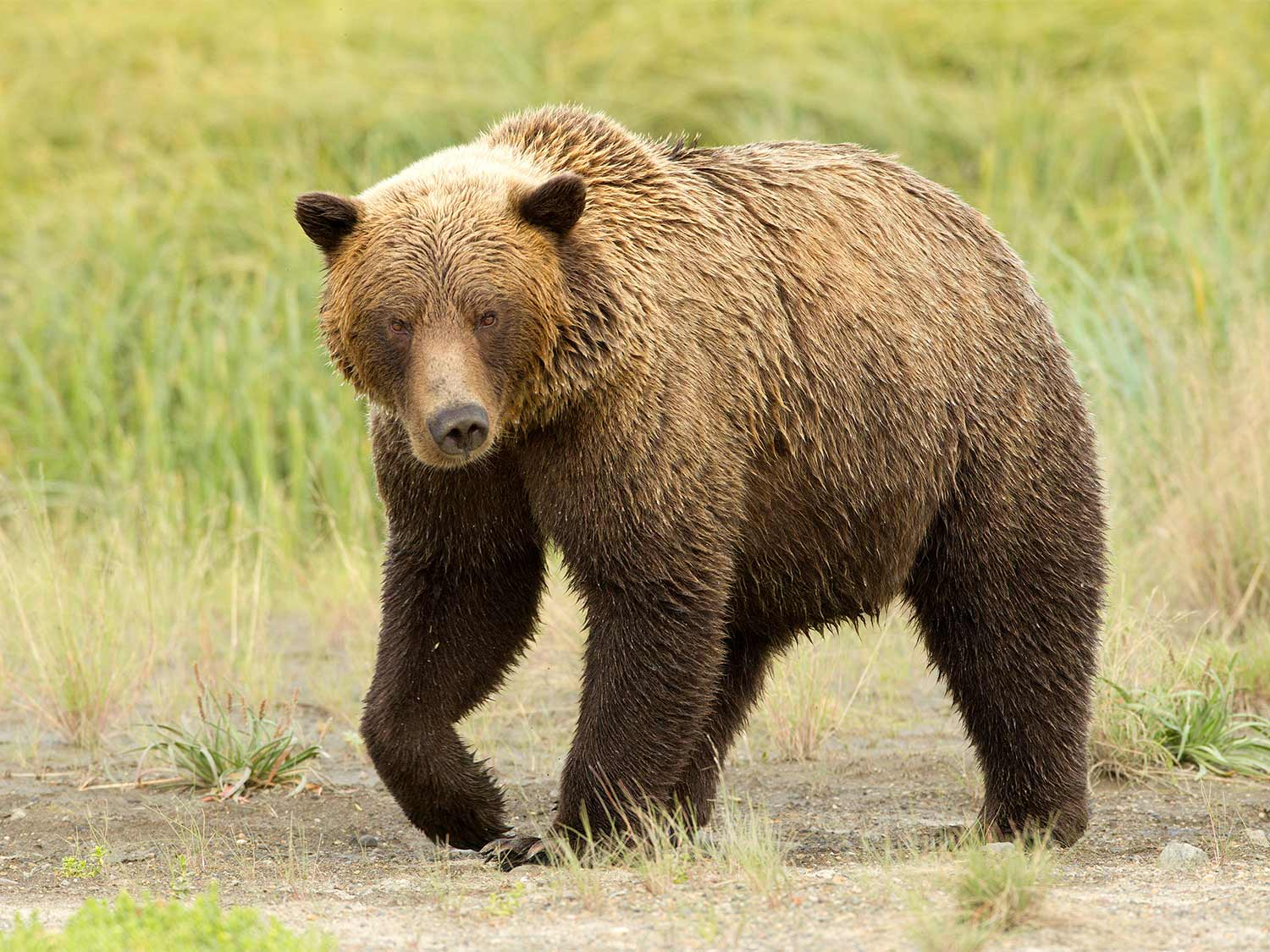 What We Can Learn From 3 Back-to-Back Grizzly Attacks on Hunters in Montana