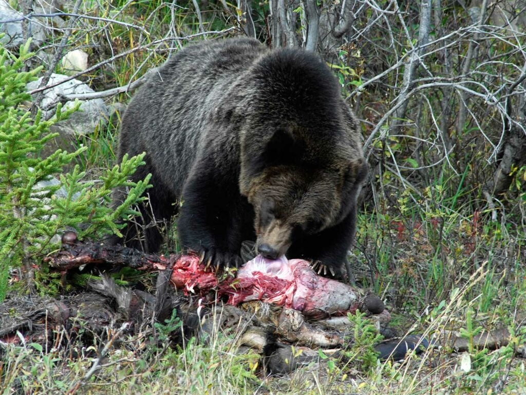 grizzly bear eating carcas