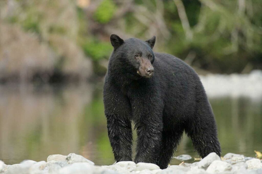 A black bear looking over his surroundings.
