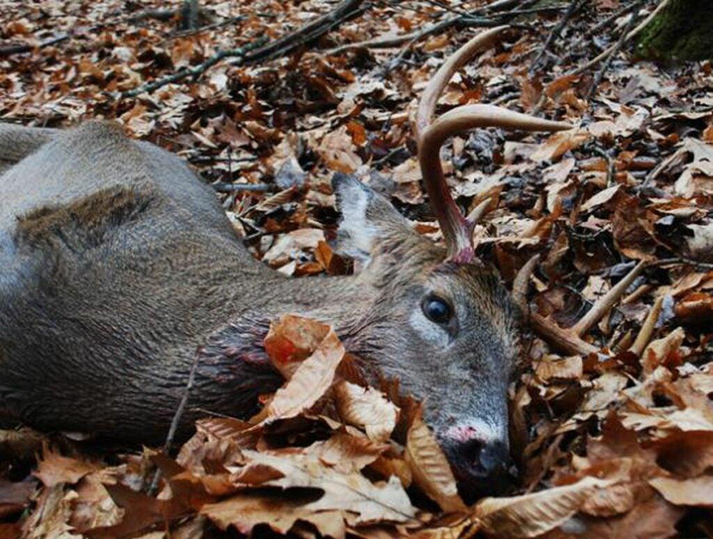 A New York Deer in Fall leaves.