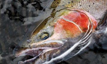 Fishing for Brown Trout and Steelhead on the High and Mighty Niagara River