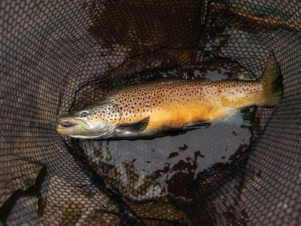 a brown trout in a net