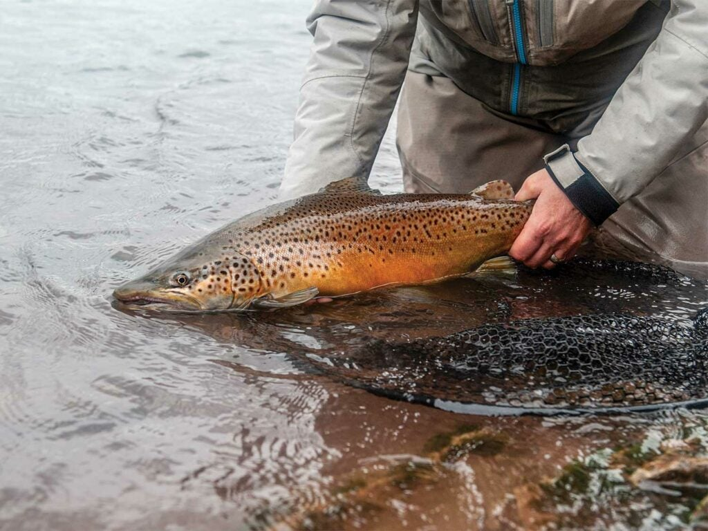 angler releasing brown trout back into the river