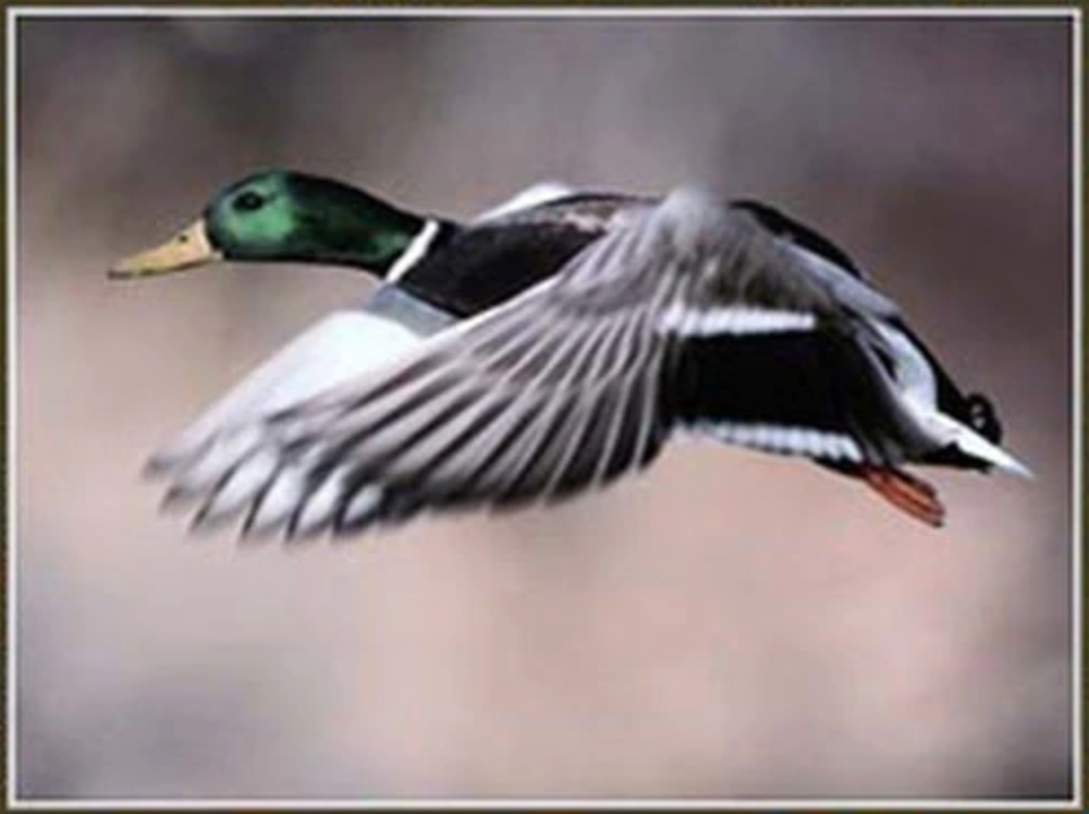 How has the lead ban changed duck hunting