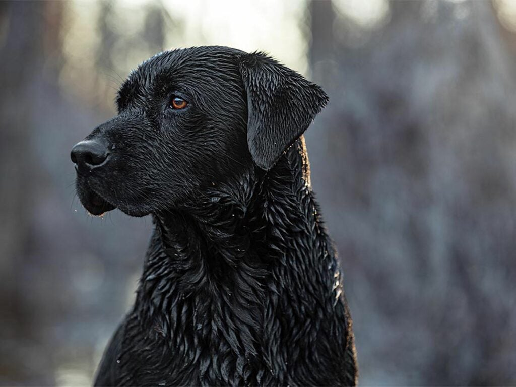 A steady duck dog waits for his next assignment.