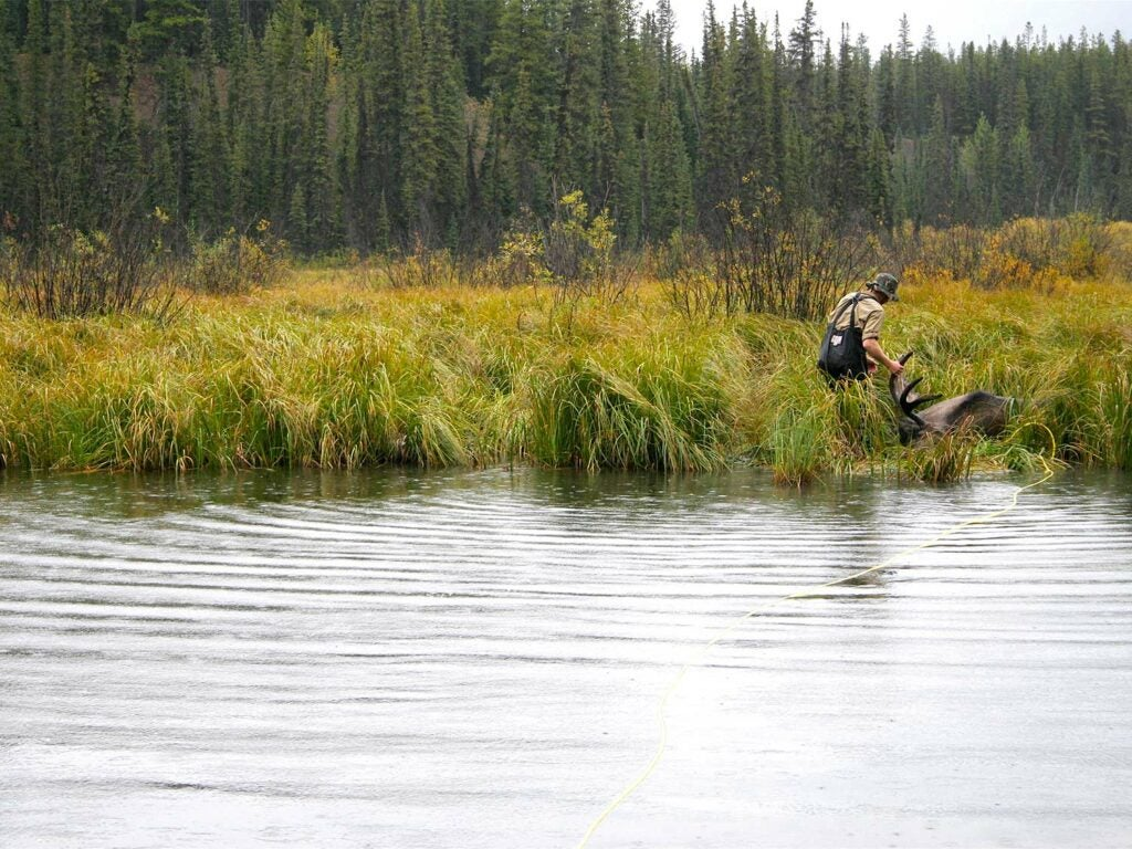 moose hunter hauling a moose out of the water