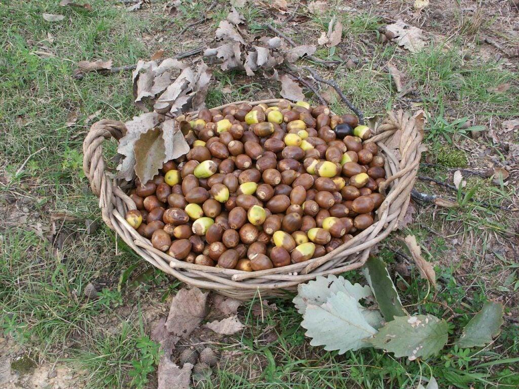 a basket full of acorns
