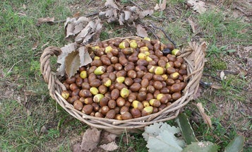 The Ultimate Guide to Foraging and Eating Acorns