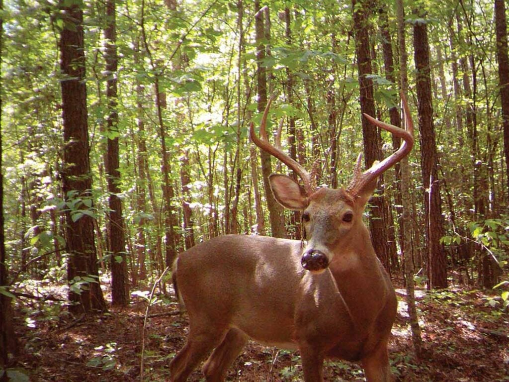 Trail camera images from the authors study showed mature bucks moving during daylight hours.
