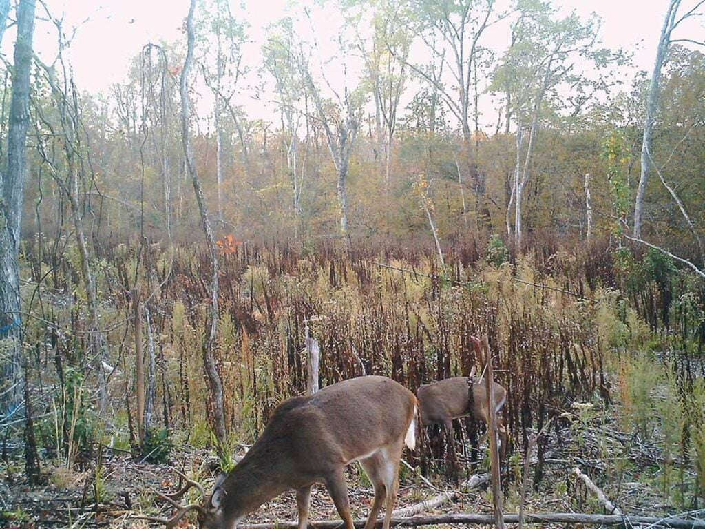 Trail camera images from the author's study showed mature bucks moving during daylight hours.