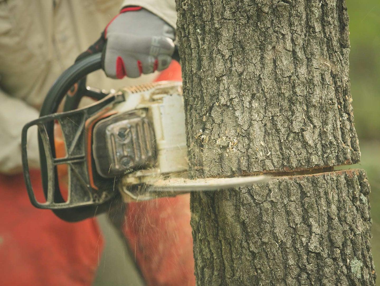 a chainsaw hinge-cutting a tree