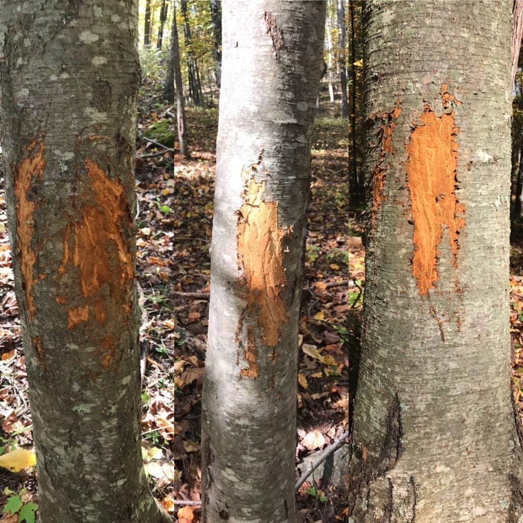 buck rubs on trees