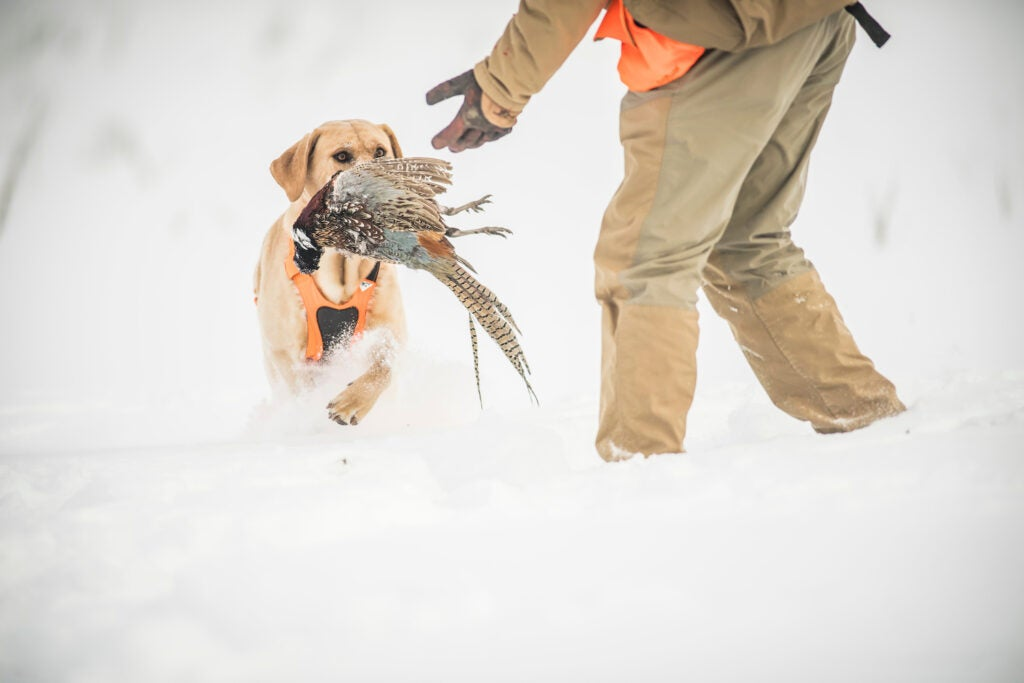 A yellow lab brings a pheasant to hand for a solo hunter.
