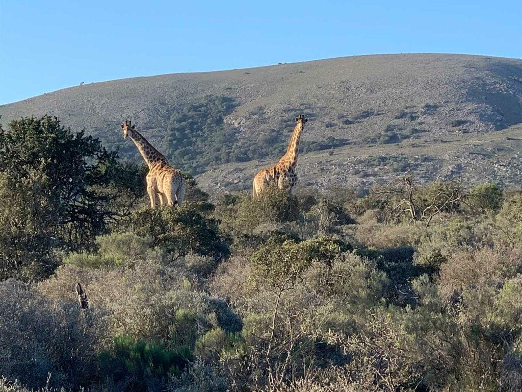 Two giraffes peeking over a brushline in Africa.