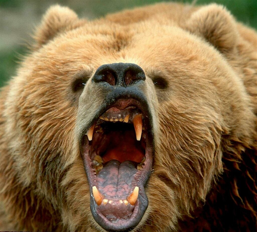 a roaring grizzly bear