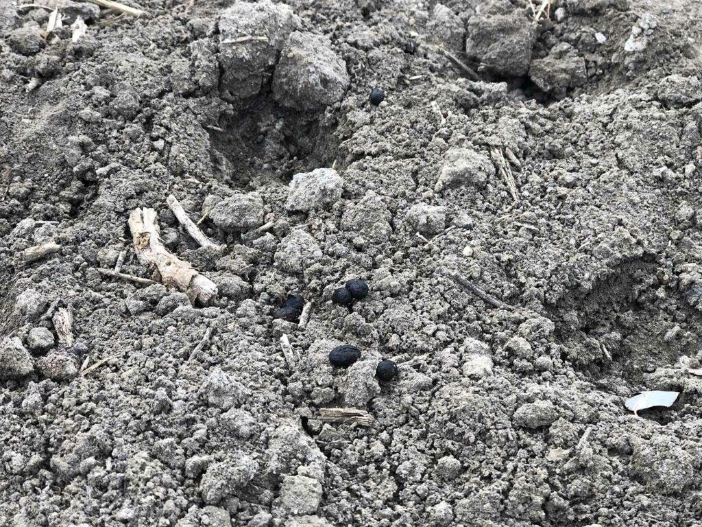 deer pellets laying on rocky soil