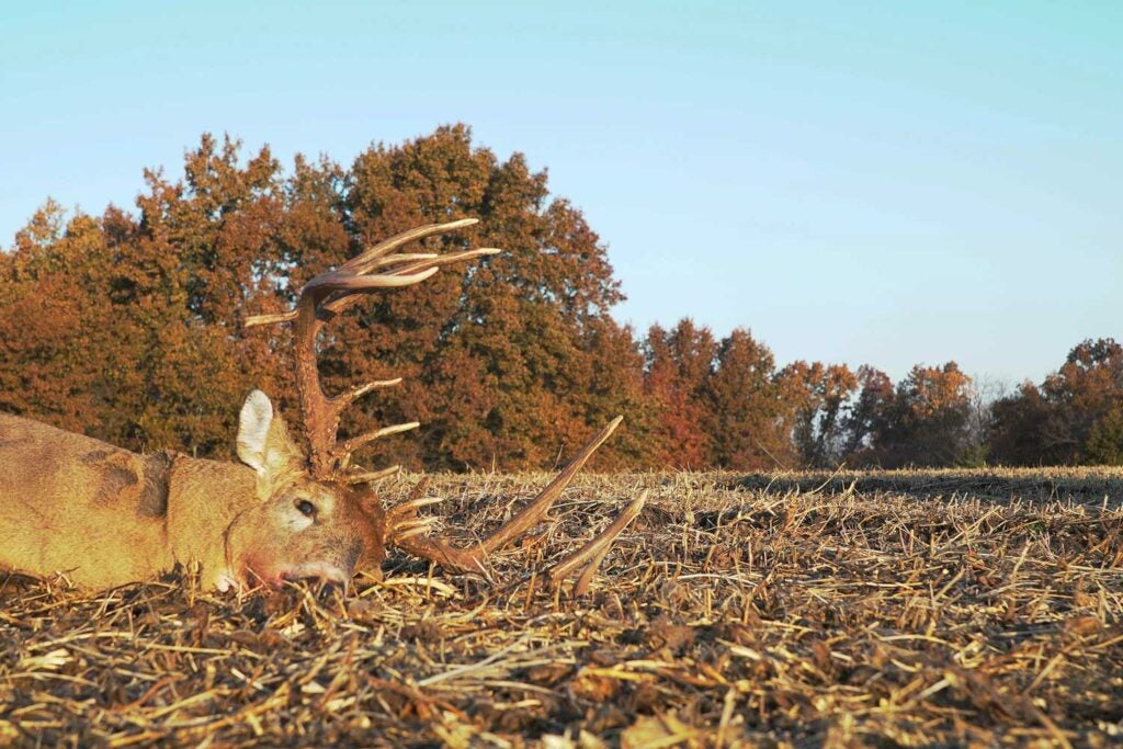 A nontypical whitetail buck in a food plot.