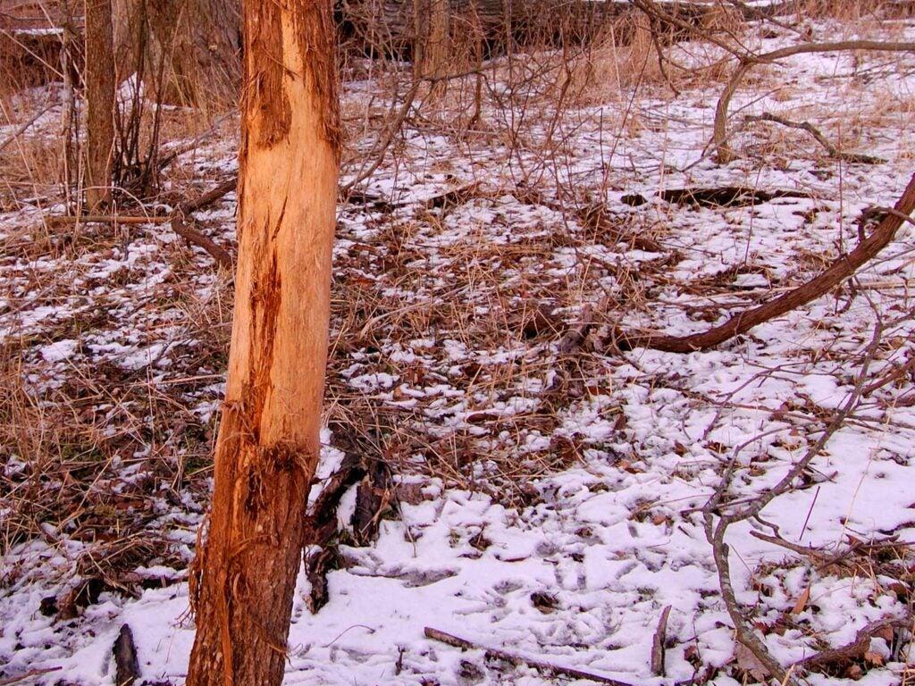 a tree scrub in snowy woods