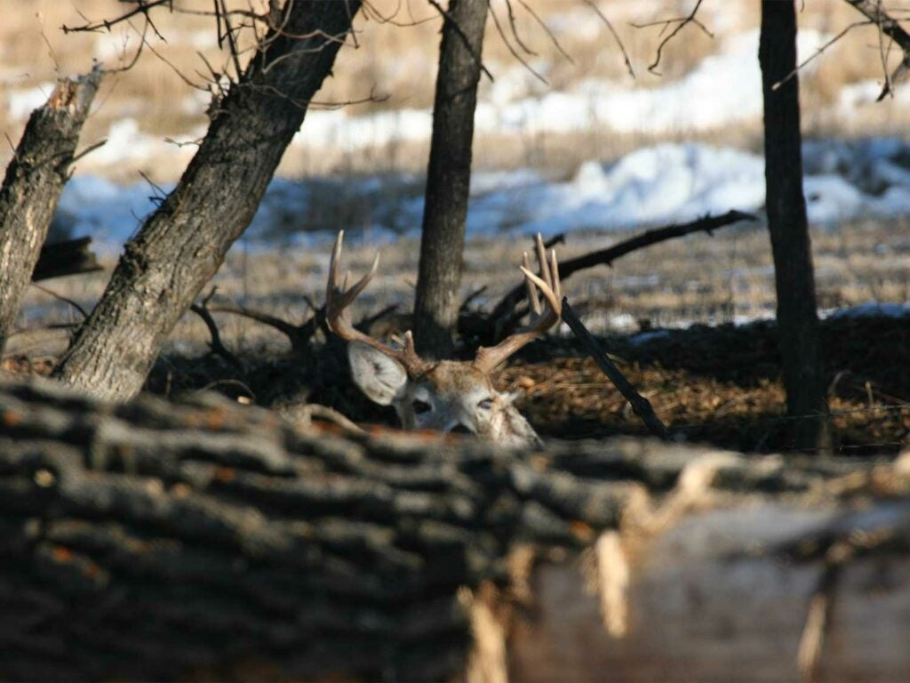 a whitetail buck bedded down.